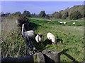 SP7039 : Sheep grazing by mick finn