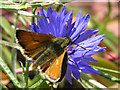 TQ3331 : Small Skipper on Cornflower by Andy Potter