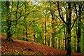SJ2811 : The Beech Woods : Week 43