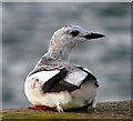 J5082 : Black Guillemots, Bangor [10] by Rossographer