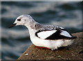 J5082 : Black Guillemots, Bangor [12] by Rossographer