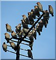NJ3458 : Waxwings (Bombycilla garrulus) by Anne Burgess