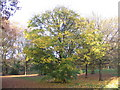 SP3078 : Maple, Hearsall Common by E Gammie