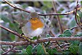 H4772 : Wee robin near Cranny, Omagh by Kenneth  Allen