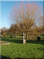 TL3861 : Willow Tree Dry Drayton Churchyard by Michael Trolove
