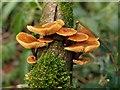 SX8056 : Fungi near the Harbourne River : Week 3