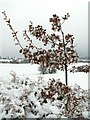 SE3209 : Snow Covered Oak Sapling by John Fielding