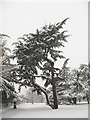 TQ3977 : Cedar in Greenwich Park by Stephen Craven