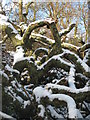 SW7827 : Snow covered fallen tree in Carwinion Valley by Rod Allday