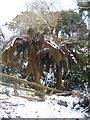 SW7828 : Dicksonia antarctica tree ferns in the snow by Rod Allday