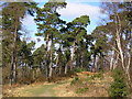 SU8665 : Pine trees, Caesar's Camp by don cload