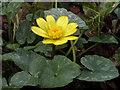 TL4354 : Lesser Celandine (Ranunculus ficaria) by Keith Edkins