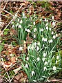 SP8909 : Snowdrops in Tatnall's Wood, near Chivery by Chris Reynolds