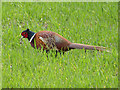 TL5461 : Pheasant (Phasianus colchicus) by Keith Edkins