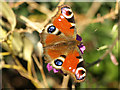 TA1828 : A Peacock Butterfly in a garden at Hedon : Week 13