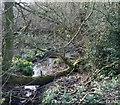 SJ6051 : Celandines by mere near Baddiley by Espresso Addict