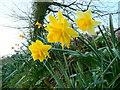 SX0659 : Narcissi at dawn 2 by Jonathan Billinger