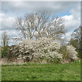 TL4354 : Blackthorn or Sloe (Prunus spinosa) by Keith Edkins