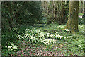 SW8341 : Primroses at the roadside near Coombe by Fred James