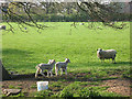 SJ7162 : How many lambs? by Stephen Craven