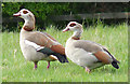 TM0634 : Pair of Egyptian geese on pasture by Zorba the Geek