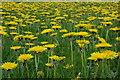 SO3403 : Dandelions in the Usk valley : Week 17