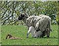 SD6215 : Lambing season : Week 18