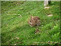 NH7500 : Rabbit, Kingussie by Kenneth  Allen