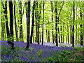 SY5299 : Bluebells (2) - Hooke Park : Week 18