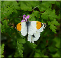TL9336 : Orange Tip on pink flower by Zorba the Geek