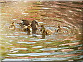 TQ1971 : Duck &amp; ducklings ripple pink reflections by David Hawgood