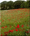 SE4207 : Barley and poppies Great Houghton by Steve  Fareham