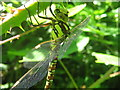 TR0455 : Southern Hawker Dragonfly (Aeshna cyanea) by David Anstiss