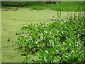 SP9713 : Bogbean flowering at the pond's edge by Chris Reynolds