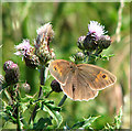 TG2403 : Meadow Brown (Maniola jurtina) on thistle flowers : Week 26