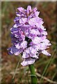 NJ8257 : Heath Spotted Orchid (Dactylorhiza maculata) by Anne Burgess