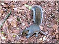 SP9314 : Young Grey Squirrel at College Lake by Chris Reynolds