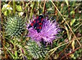 SE3209 : Six-Spot Burnet on thistle by John Fielding