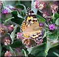 TG3502 : Painted Lady butterfly (Vanessa cardui) by Evelyn Simak