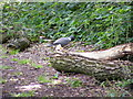TL2302 : Pigeon in Furzefield Wood by Adrian Cable