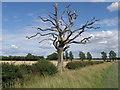 TL1881 : Dead tree in the landscape near Sawtry by Michael Trolove