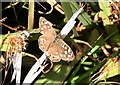 SW3927 : Speckled Wood butterfly (Pararge aegeria) by Rod Allday