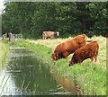 TG4109 : Cattle at drainage ditch : Week 36