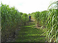 SE2710 : Miscanthus near High Hoyland by John Illingworth