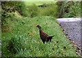 H5088 : Pheasant along the roadside by Kenneth  Allen