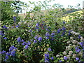 SX8953 : Aconite, Monkshood or Wolfsbane ( Aconitum napellus), and Black Bryony near Hillhead South Devon by Tom Jolliffe