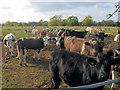 SP8912 : Cattle round a hay feeder near Drayton Beachaump by Chris Reynolds