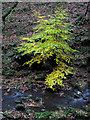 SJ9965 : Tree at Black Brook by Dave Croker