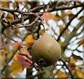 SO8371 : Worcester Black Pear : Week 43