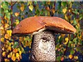 SE3309 : Orange Birch Bolete (Leccinum versipelle) : Week 43